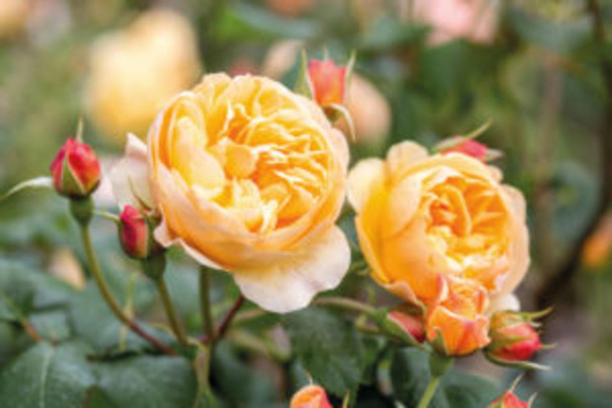 roses-to-grow-Roald-Dahl-David-Austin