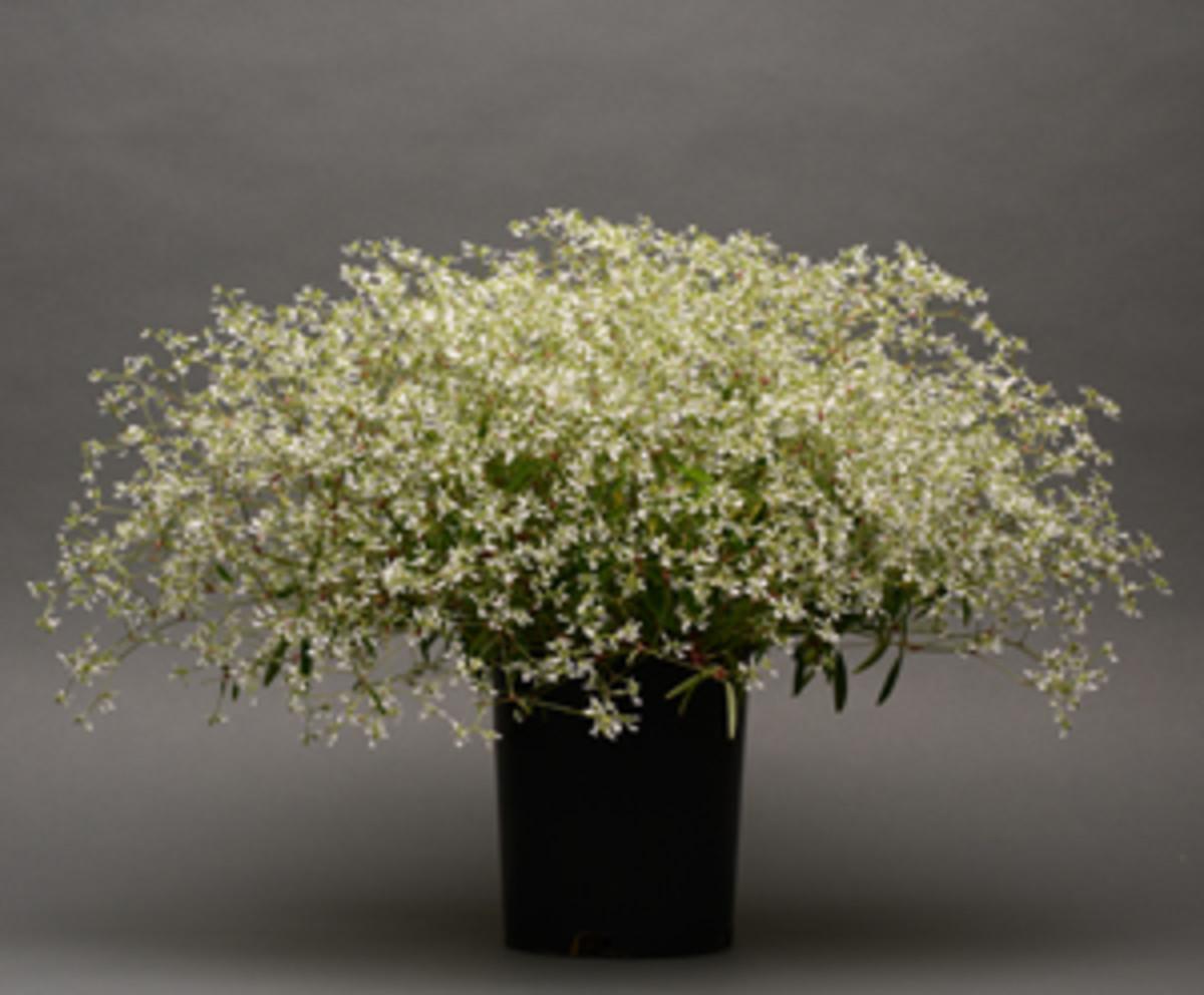 Euphorbia_Glamour
