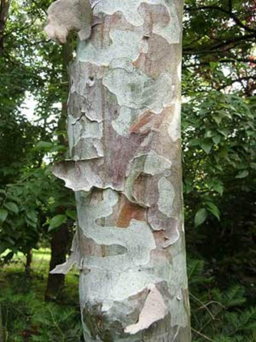 Lacebark Pine Pinus bungeana