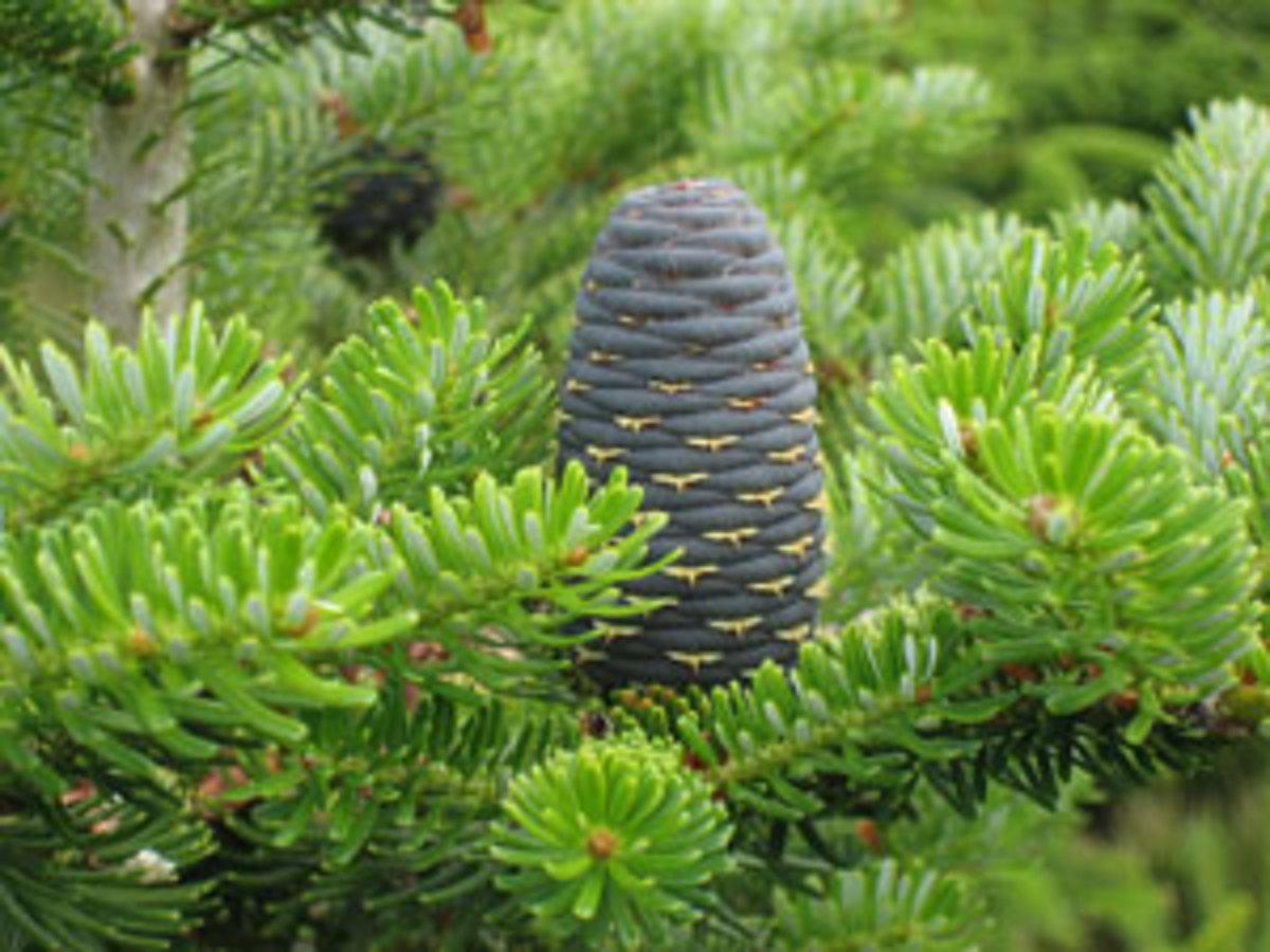 korean fir cone