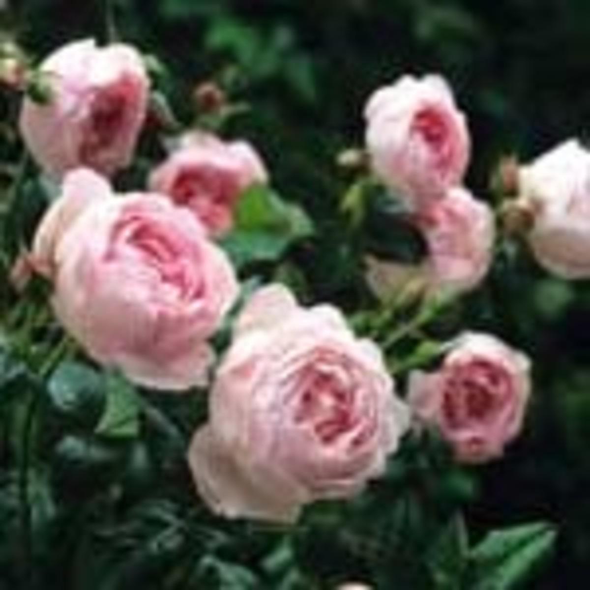 Scepter'd Isle rose
