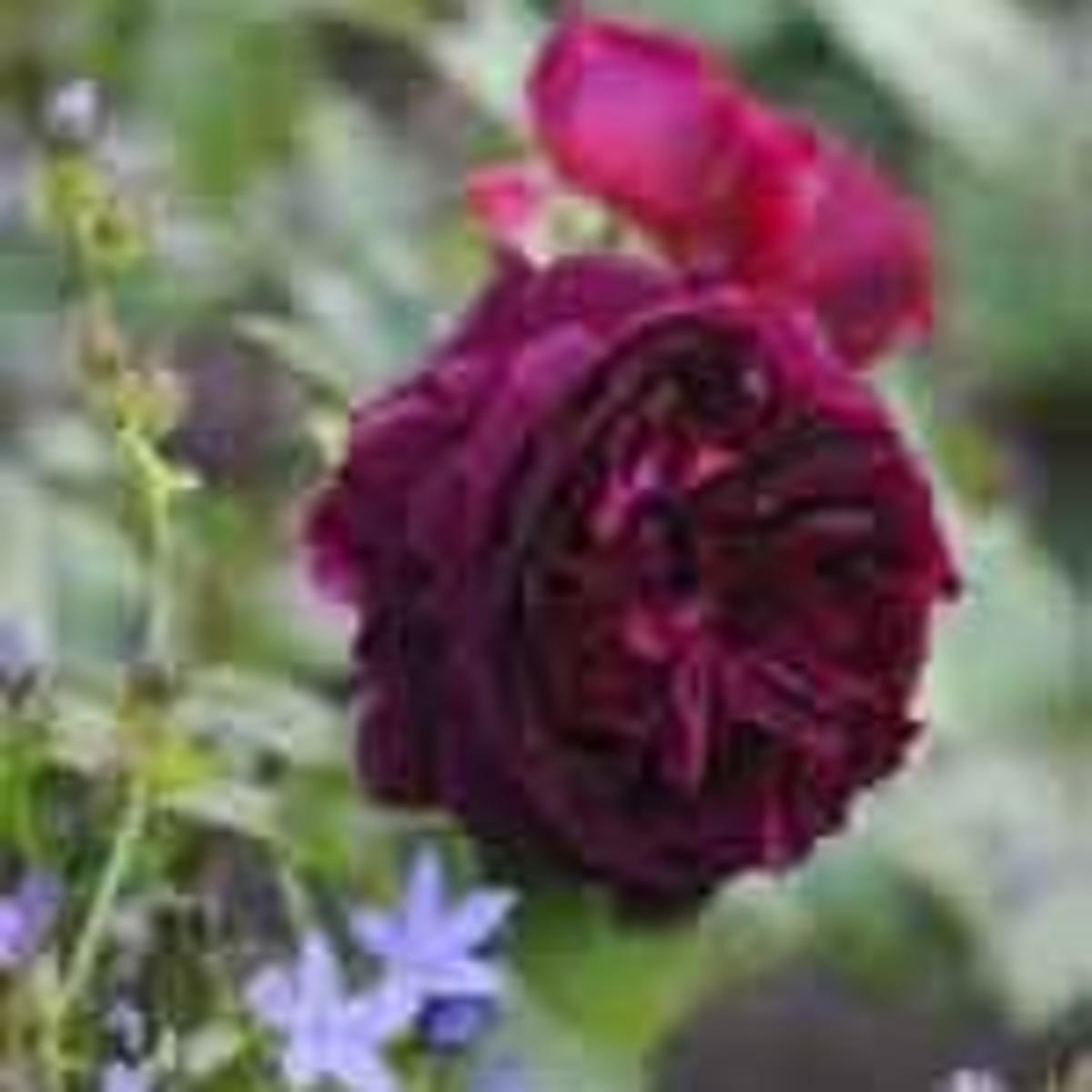 Munstead Wood rose