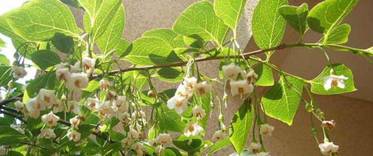 Japanese snowbell Styrax japonica