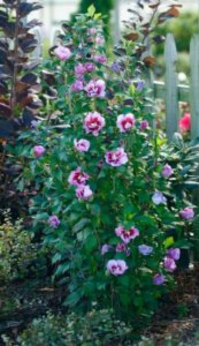 Purple Pillar rose of Sharon