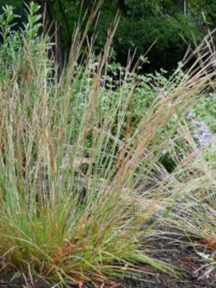 Schizachyriumscoparium Carousel