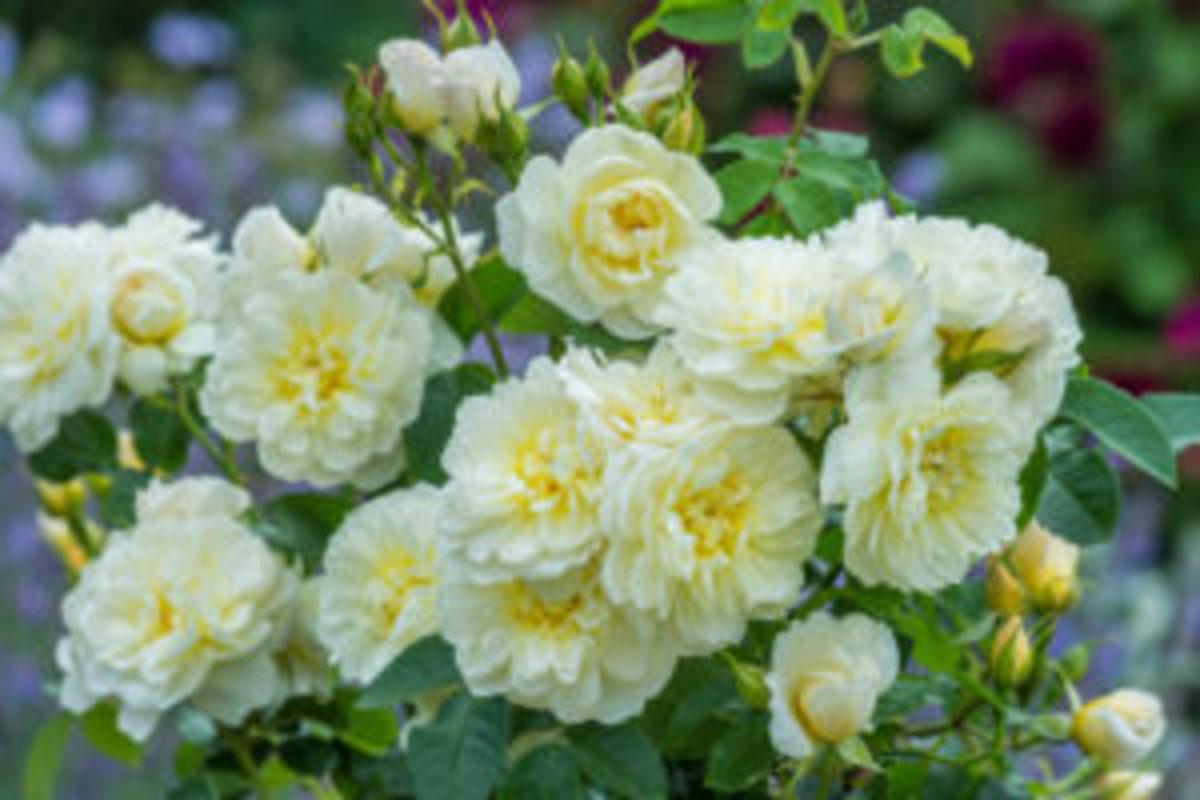 roses-to-grow-david-austin-roses