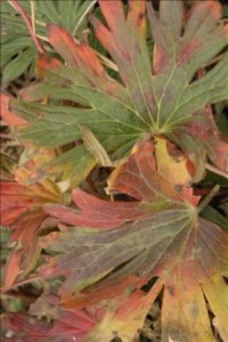 geranium tiny monster fall foliage