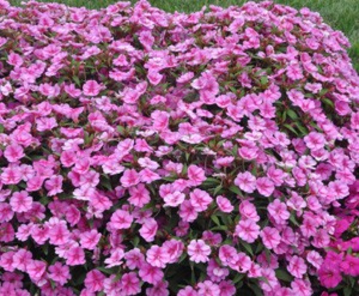 Bounce and Big Bounce Impatiens