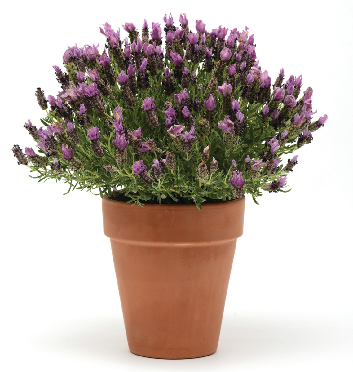 'Bandera Purple' Spanish Lavender
