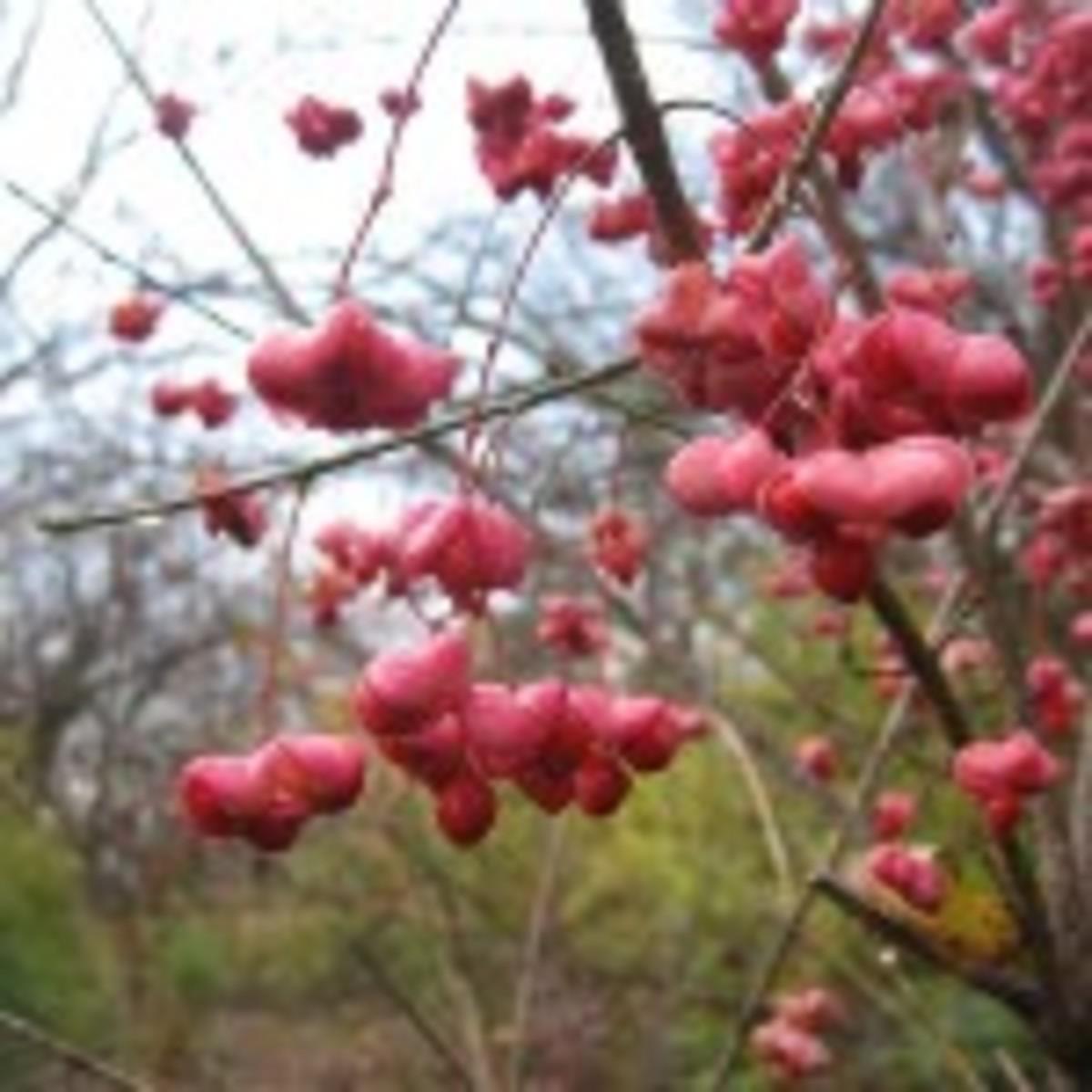 450px-Euonymus_atropurpureus_fruit