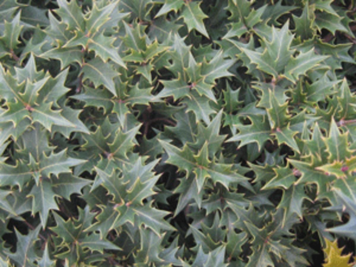 evergreen shrub gulftide tea olive