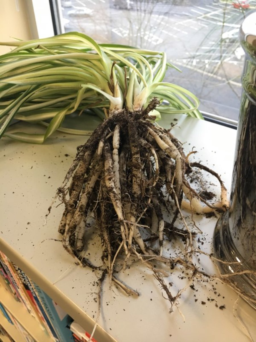 spider plants from cuttings
