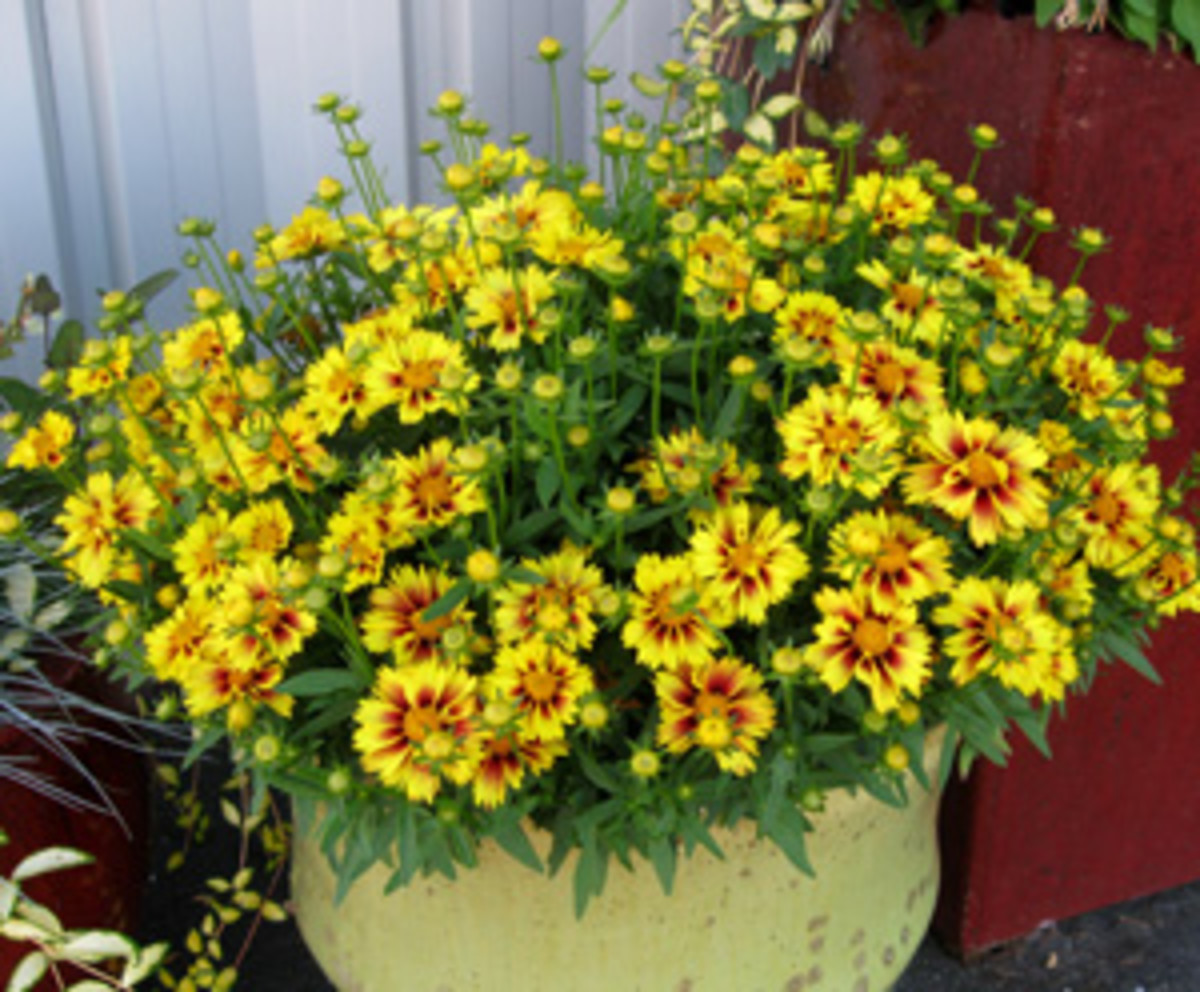 Horticulture Plants We Love tickseed