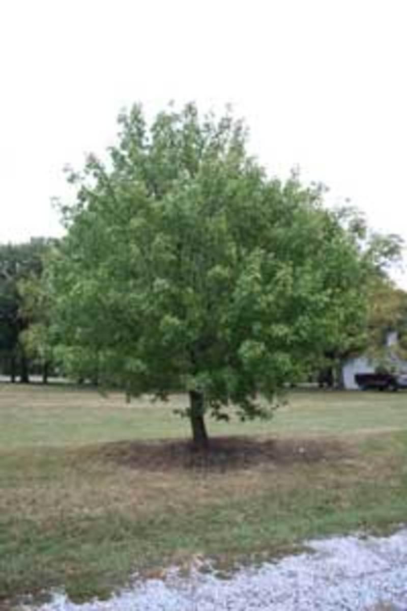 shantung maple acer truncatum