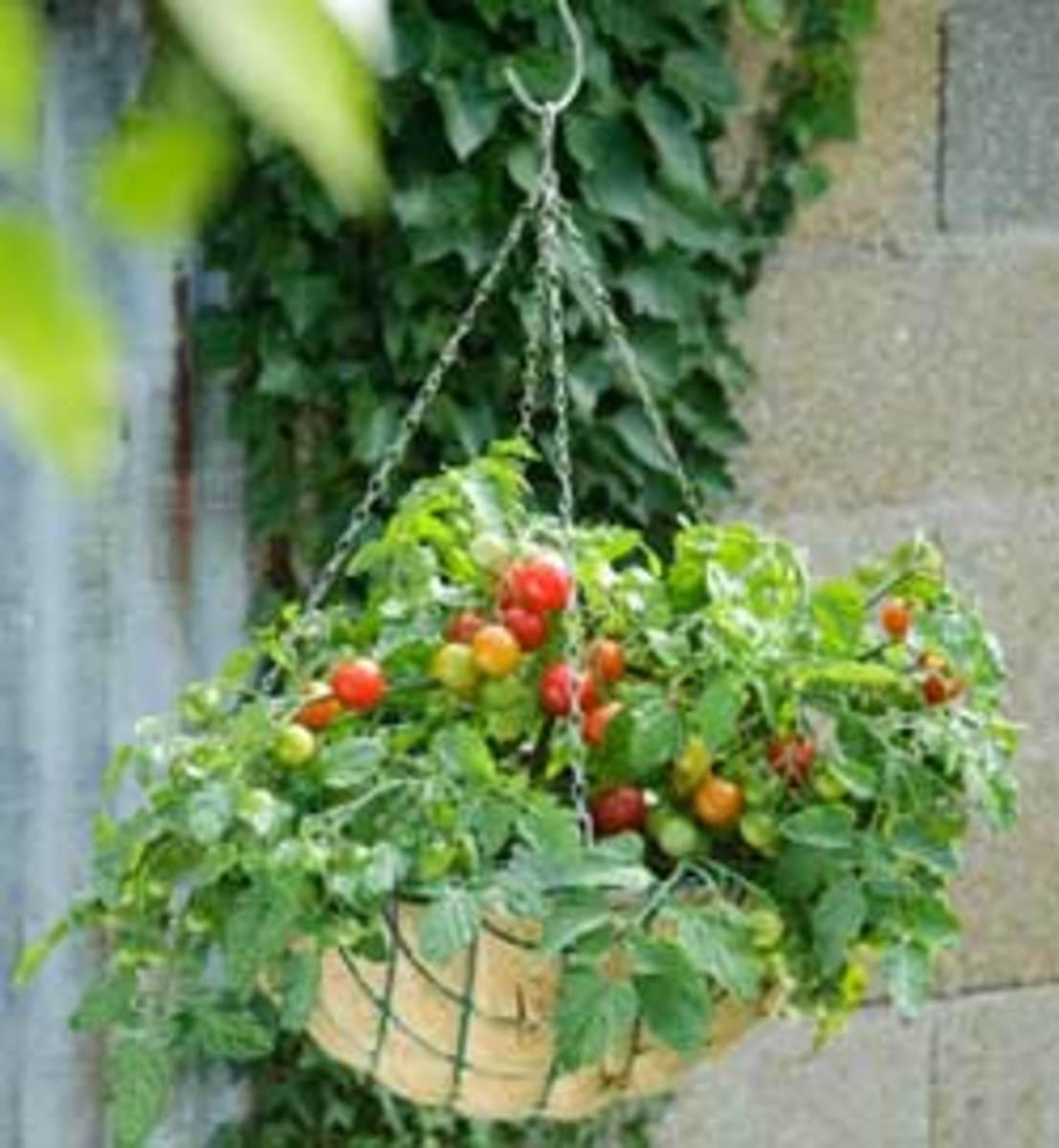 Terenzo tomato
