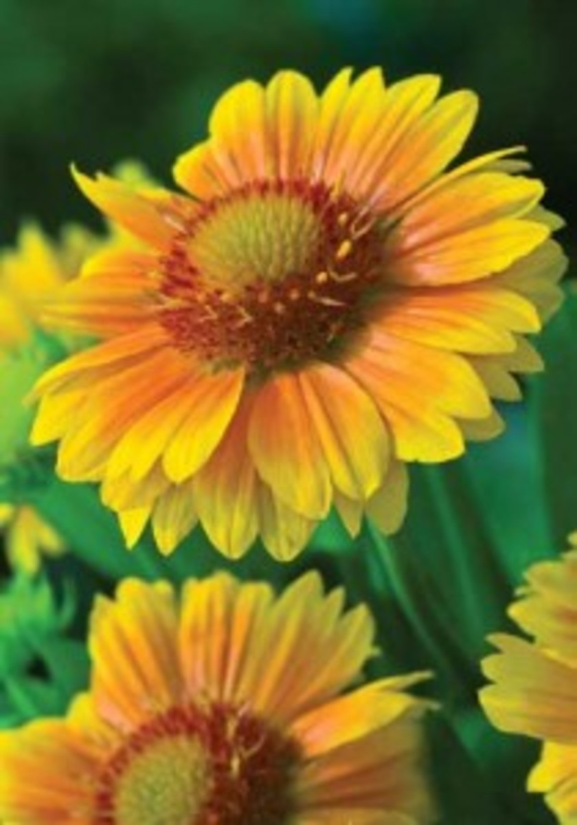 A unique blend of orange and yellow petals with a daisy-like center.