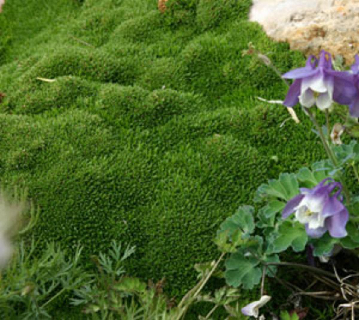 Wallowa Mountain desert moss arenaria