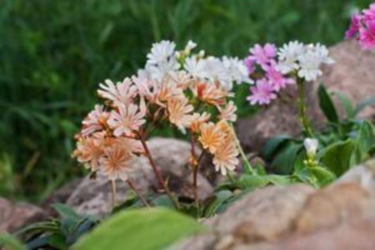 lewisia cotyledon