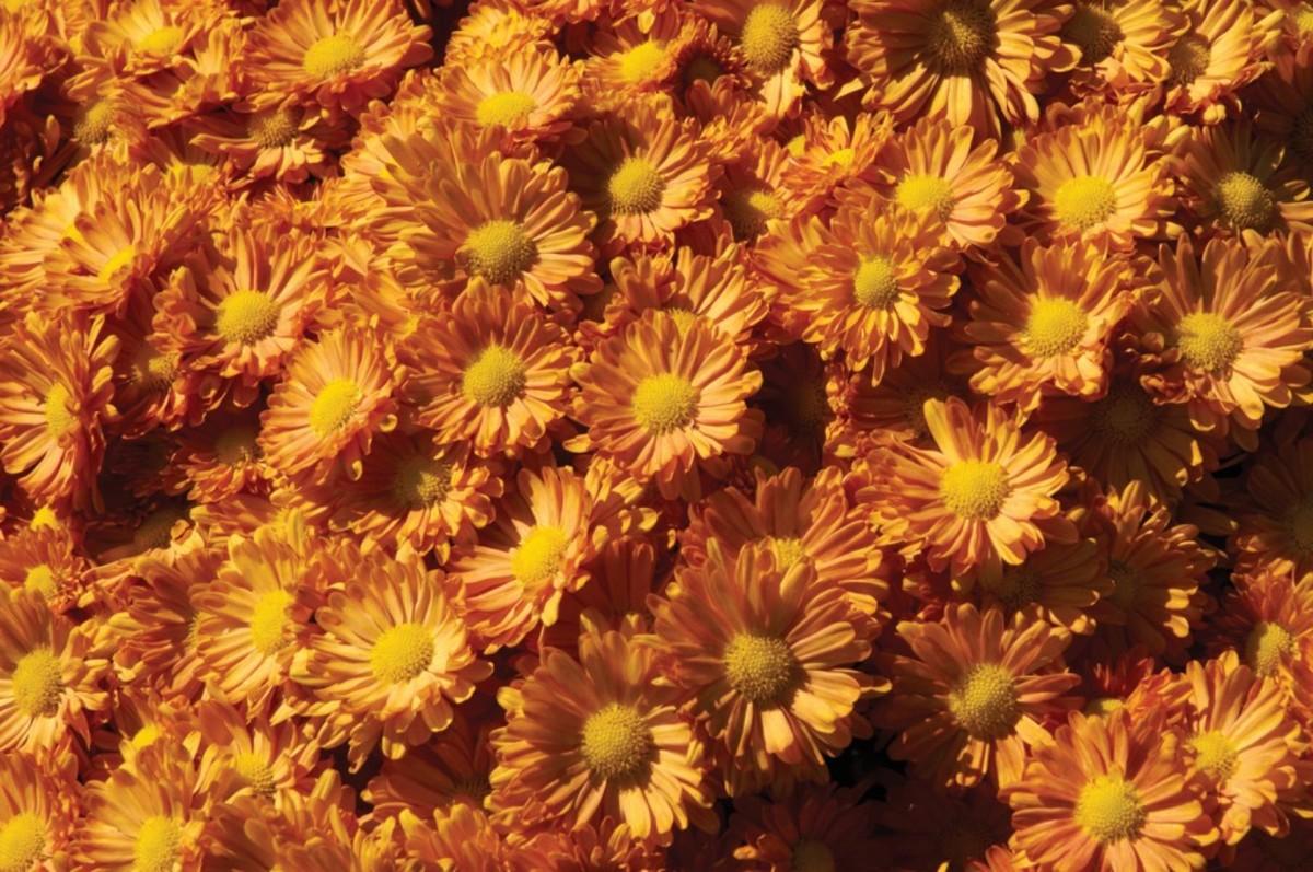 pumpkin Igloo mum Horticulture