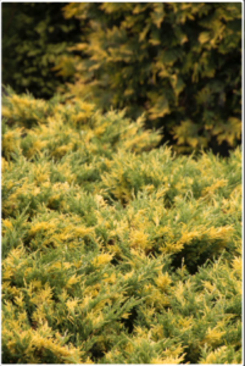 jazzy jewel groundcover juniper