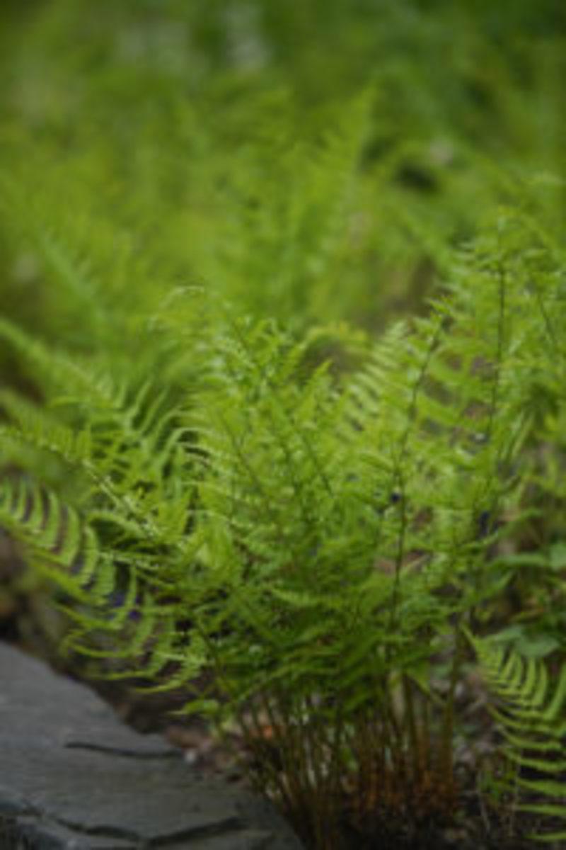 perennials-evergreen-ferns