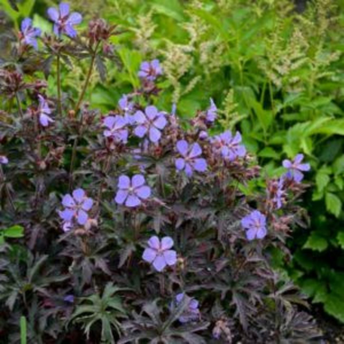 geranium dark reiter