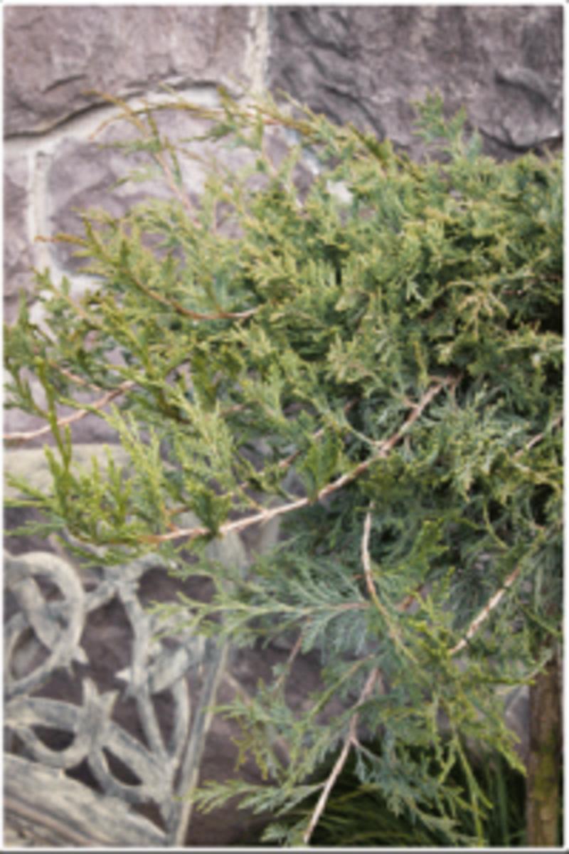 burly blue groundcover juniper