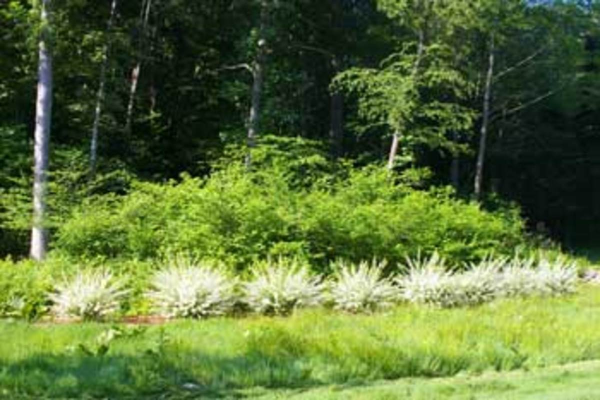 Willow (Hakuro nishiki) used as a landscape border