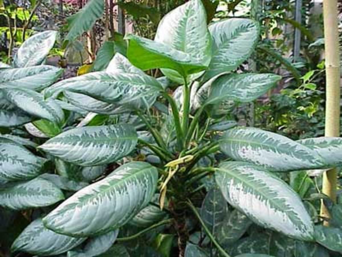 aglaonema chinese evergreen