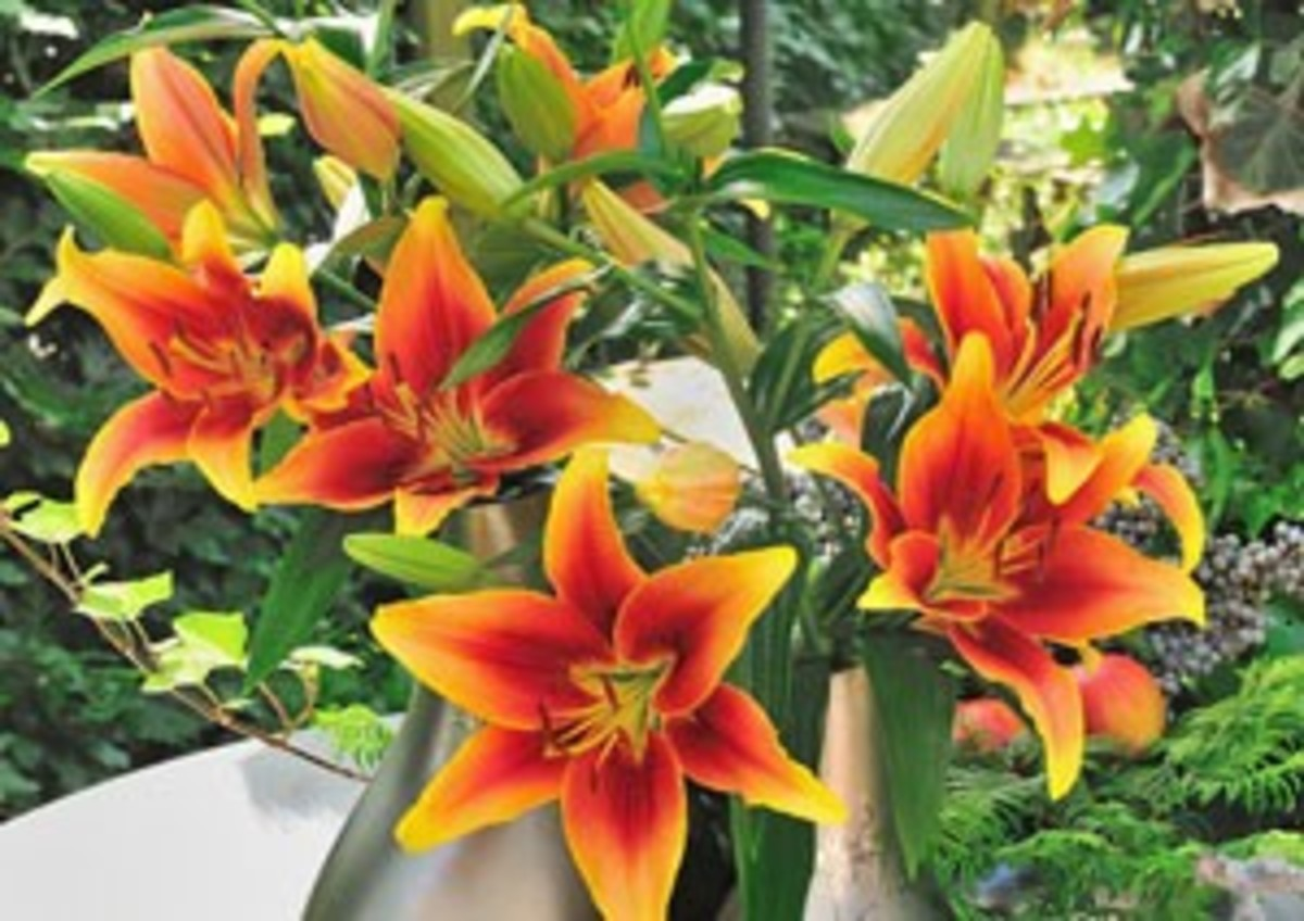 Kaveri Lily Dazzles With Flower Color And Number Horticulture