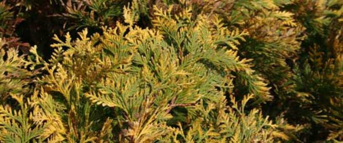 Rhiengold Arborvitae
