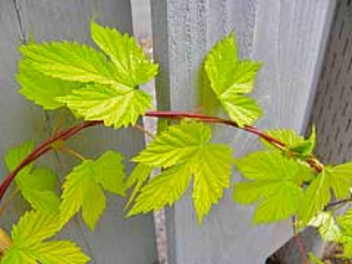 golden hop vine