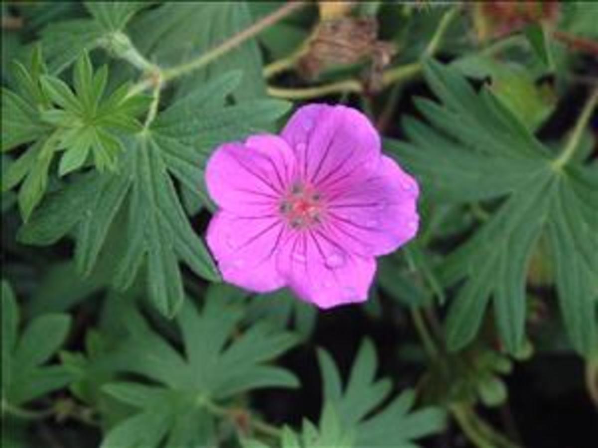 geranium tiny monster flower