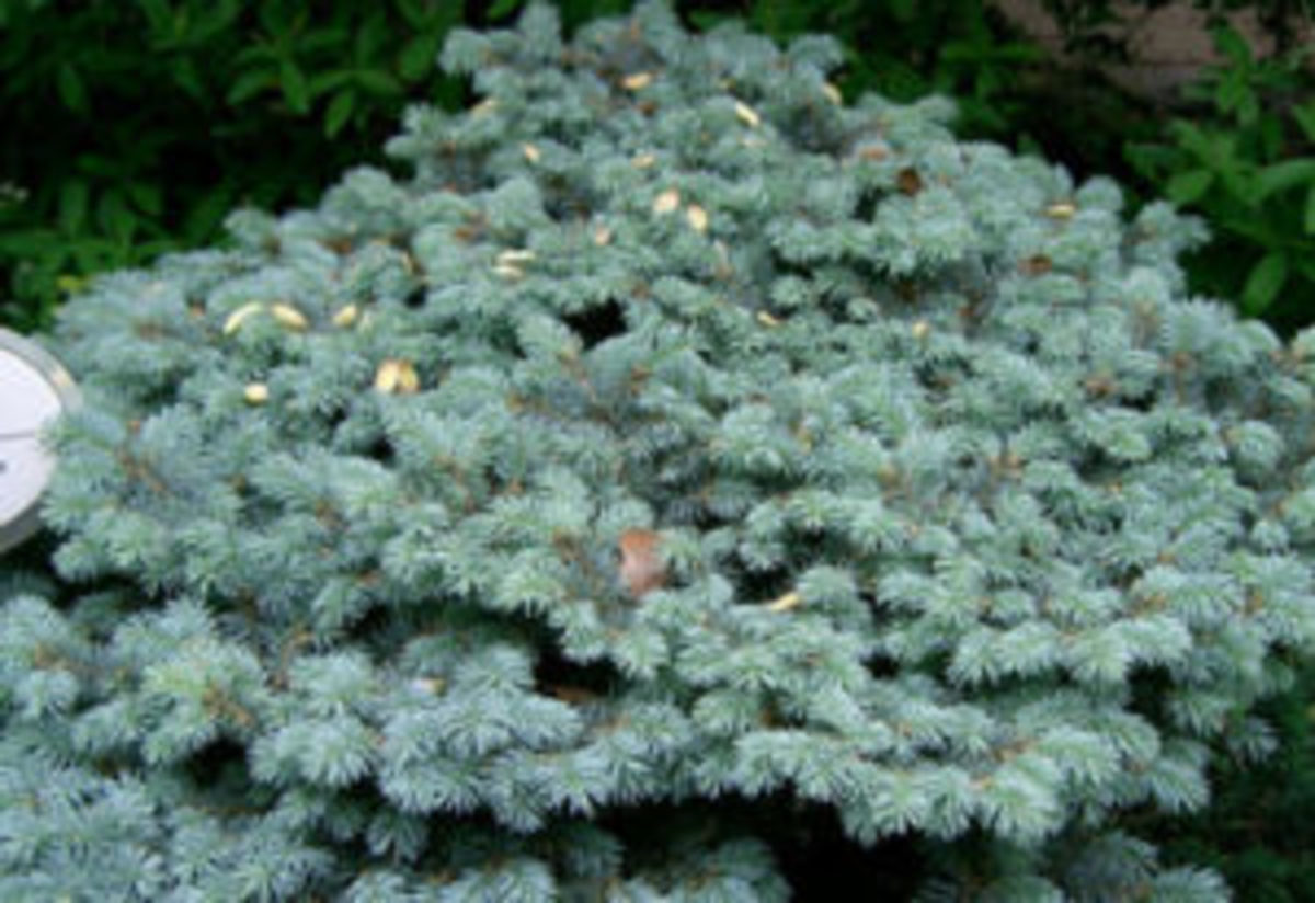 dwarf conifer globosa blue spruce