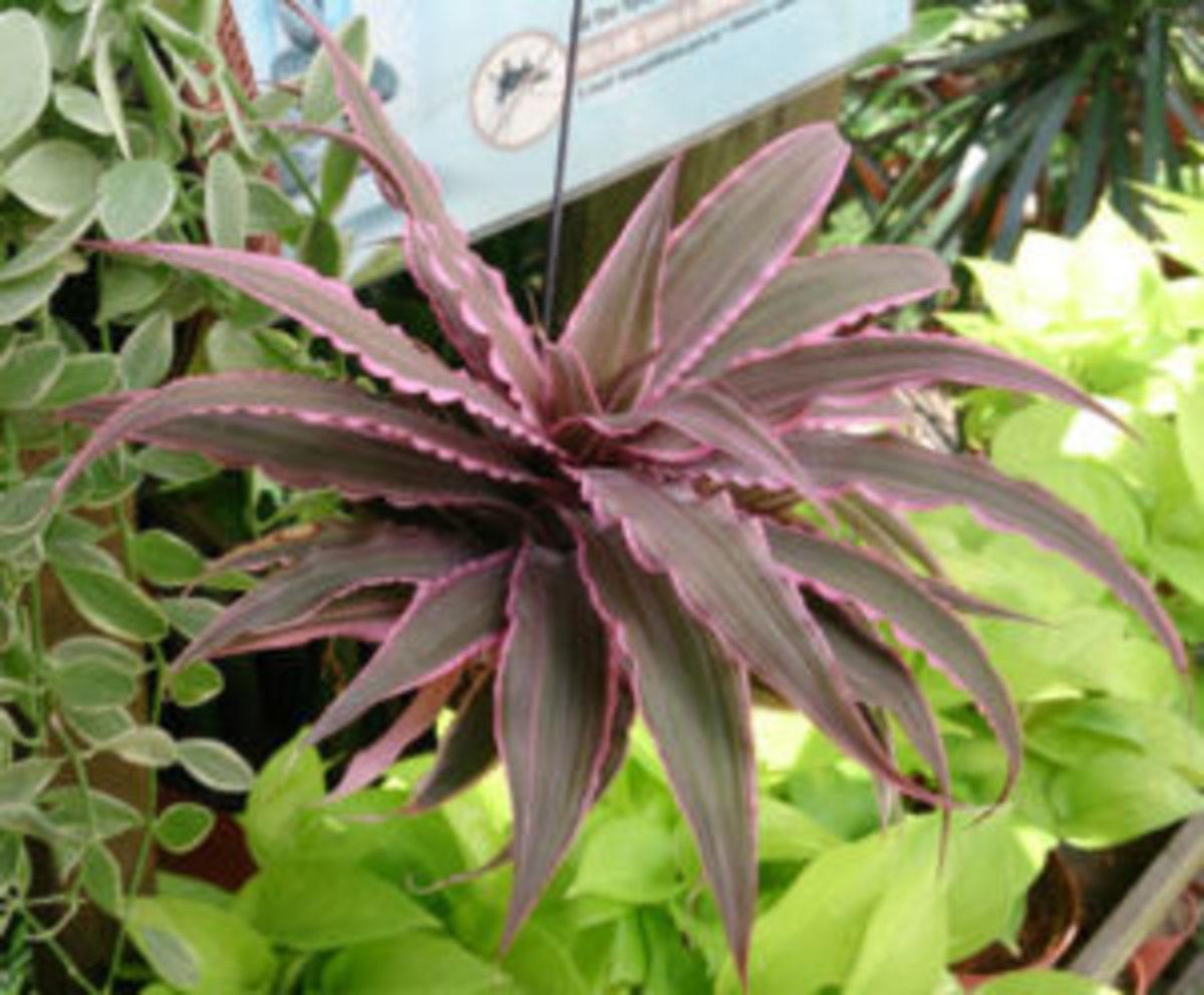 earth star bromeliad