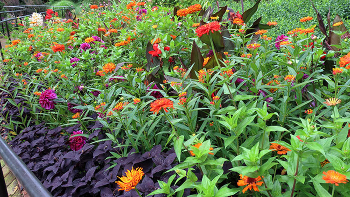 'Dark Star' coleus hemmed a colorful display of orange 'Inca' zinnias, magenta 'Einstein' dahlias and scarlet-and-yellow 'Red Butterfly' butterfly weed. at the Chicago Botanic Garden in 2018. Dark-leaved, red-flowered canna added depth to the middle of the planting.