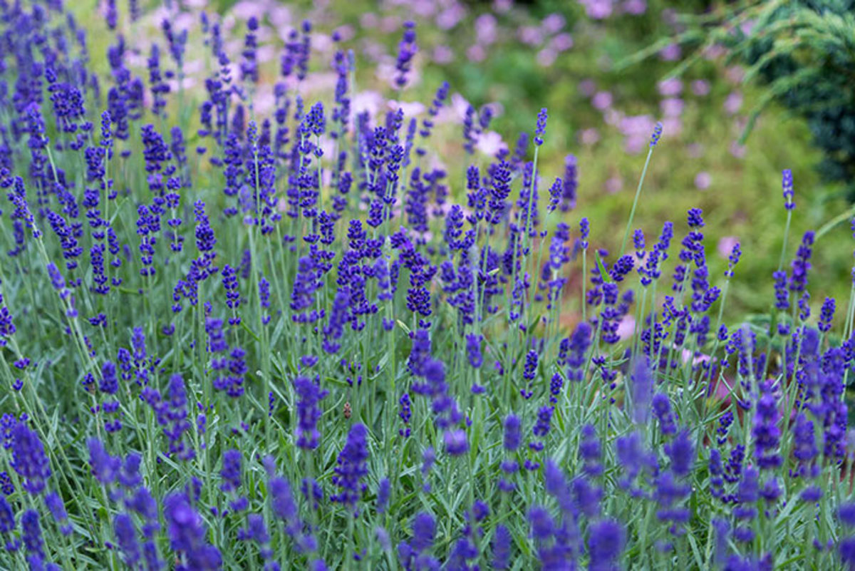 Lavender grows best with warm, dry summers and mild winters.