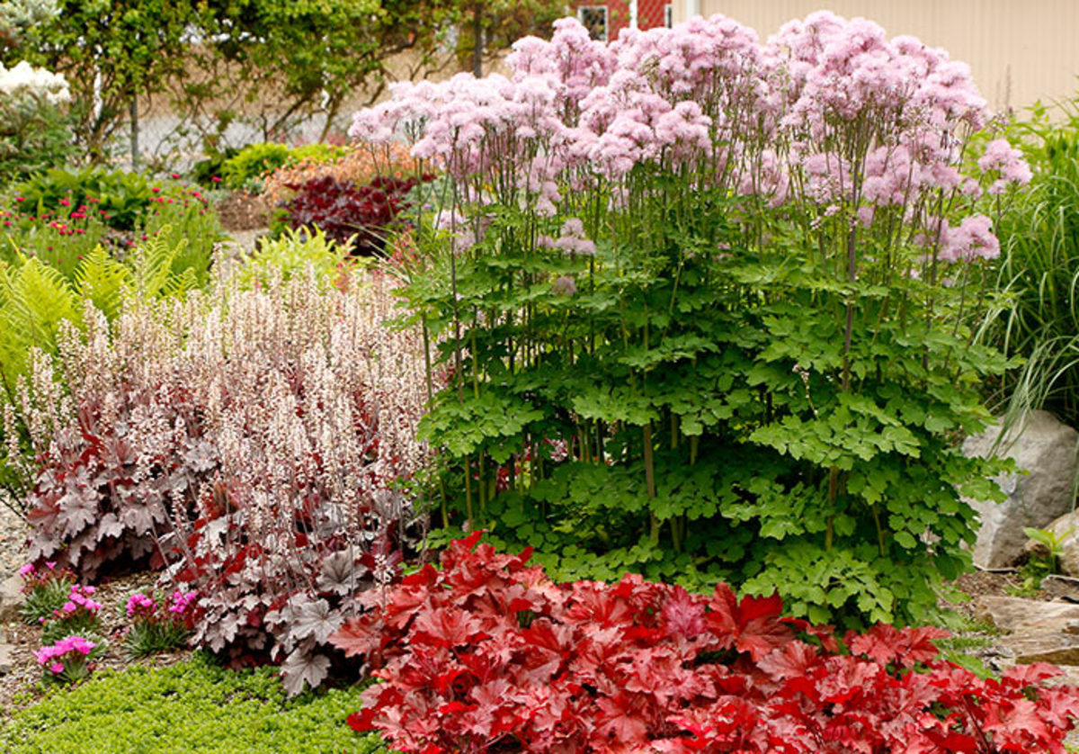Nimbus Pink meadow rue is the tall plant right of center.