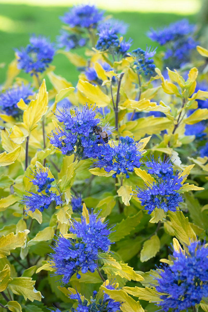 The flowers of La Barbe Bleue bluebeard appear from late summer into autumn.