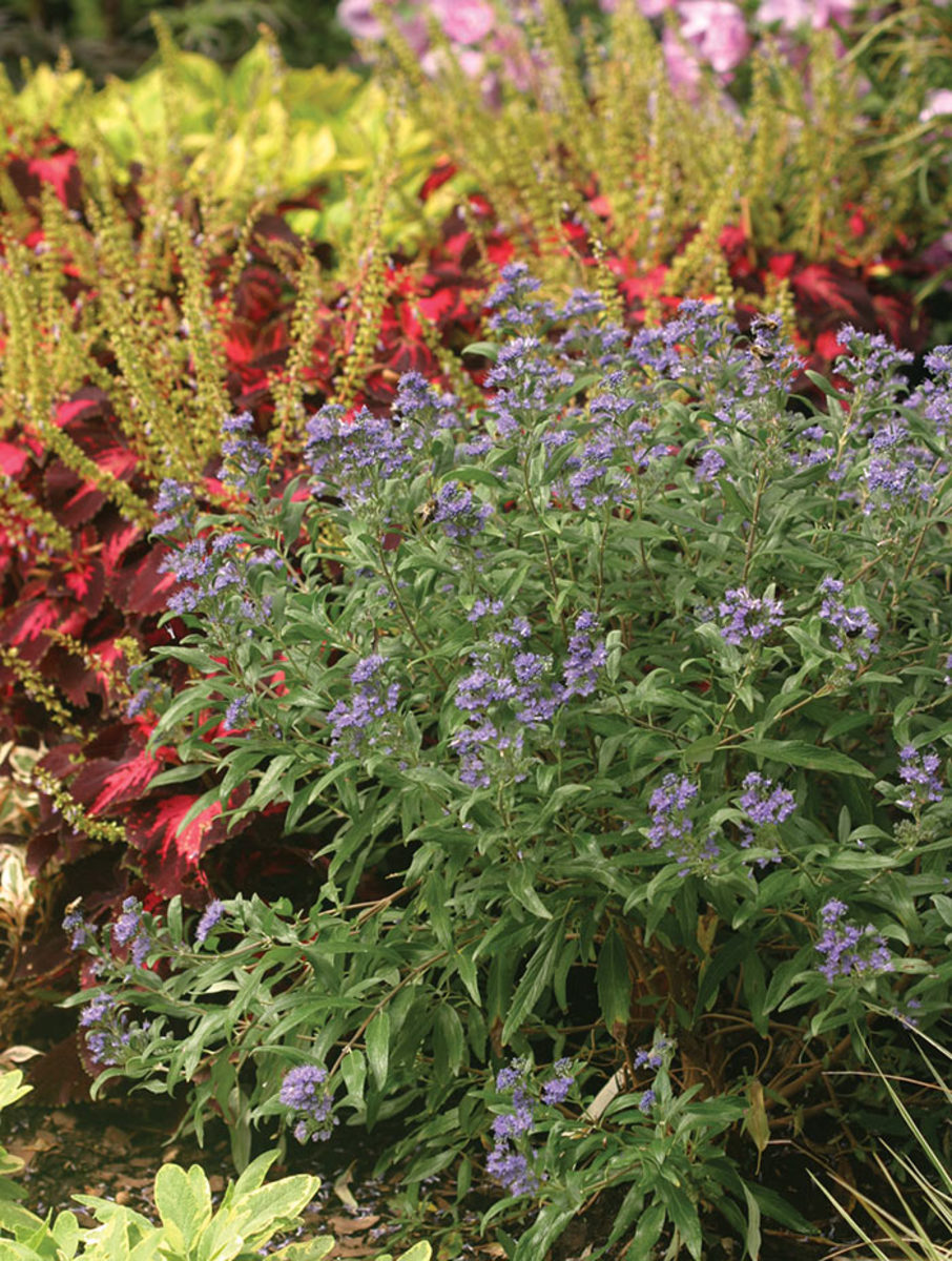 Bluebeard, or Caryopteris, is a compact, shrubby plant with blue flowers in late summer and autumn. Shown here is the cultivar La Petit Bleu creating great late-season contrast with cherry-red coleus.