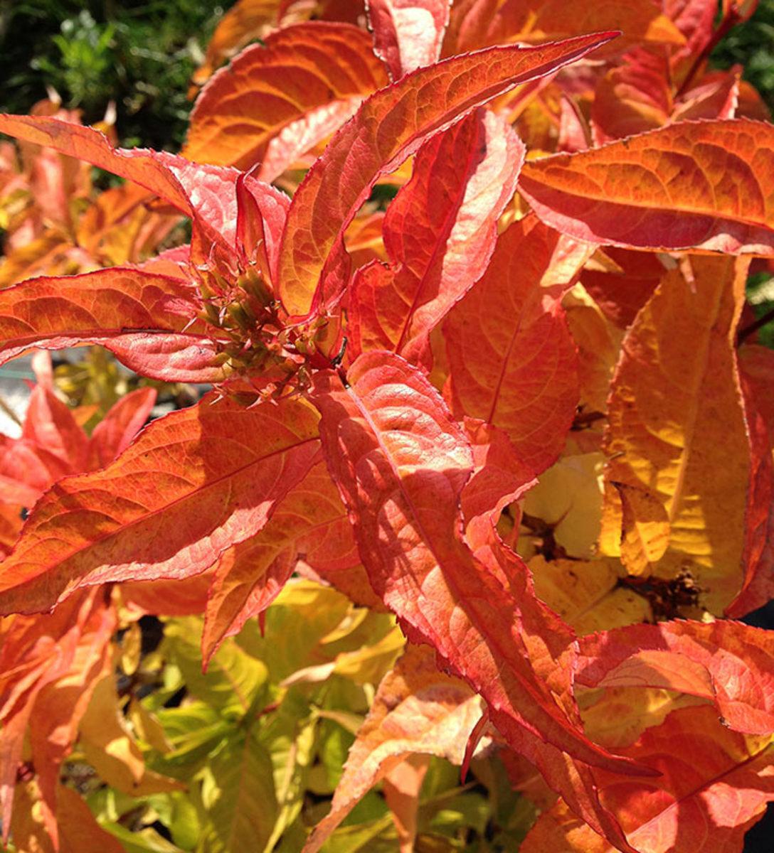 The fall foliage of Kodiak Orange diervilla is a fiery orange.