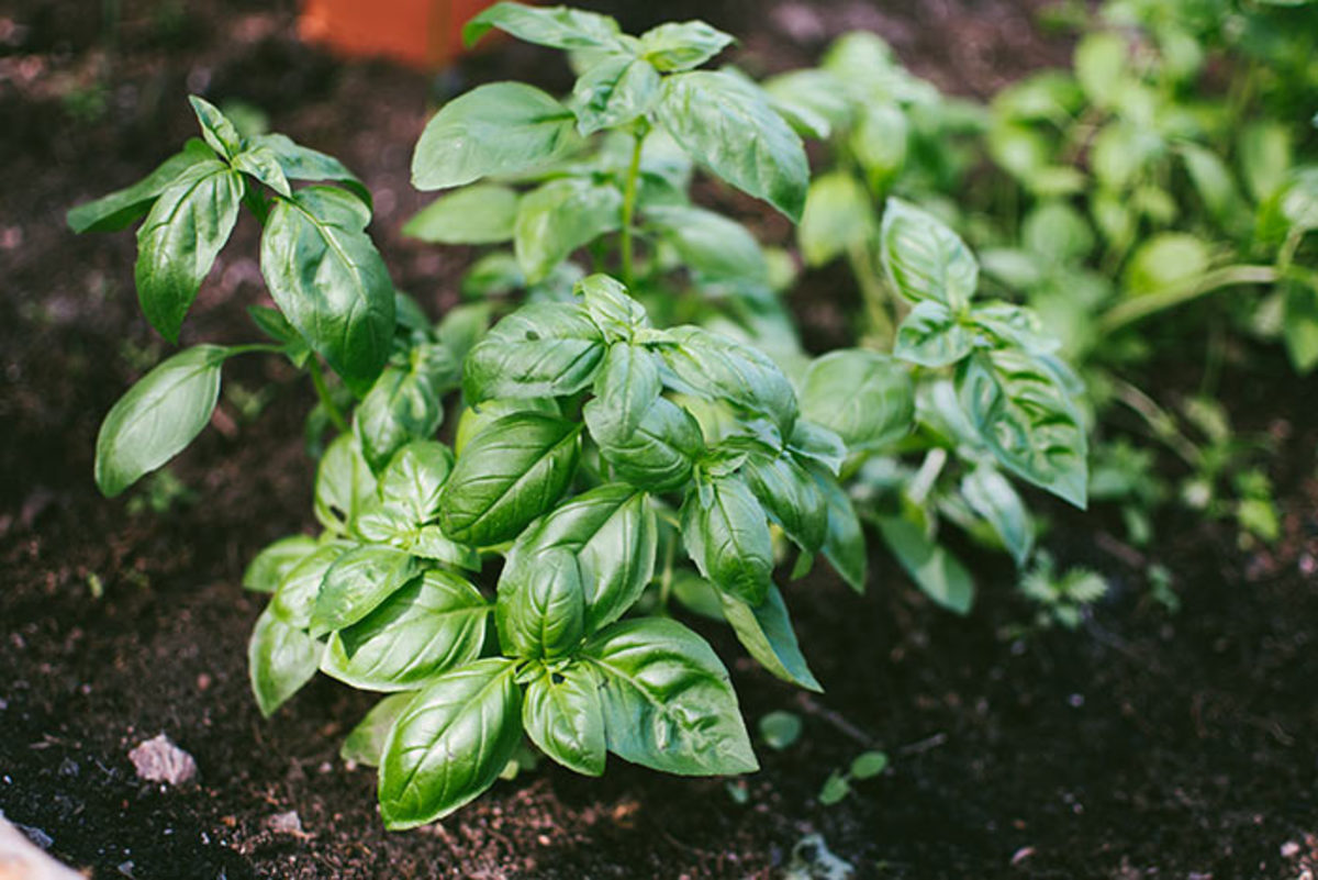 Before frost blackens your basil, snip it up and store it in your freezer.