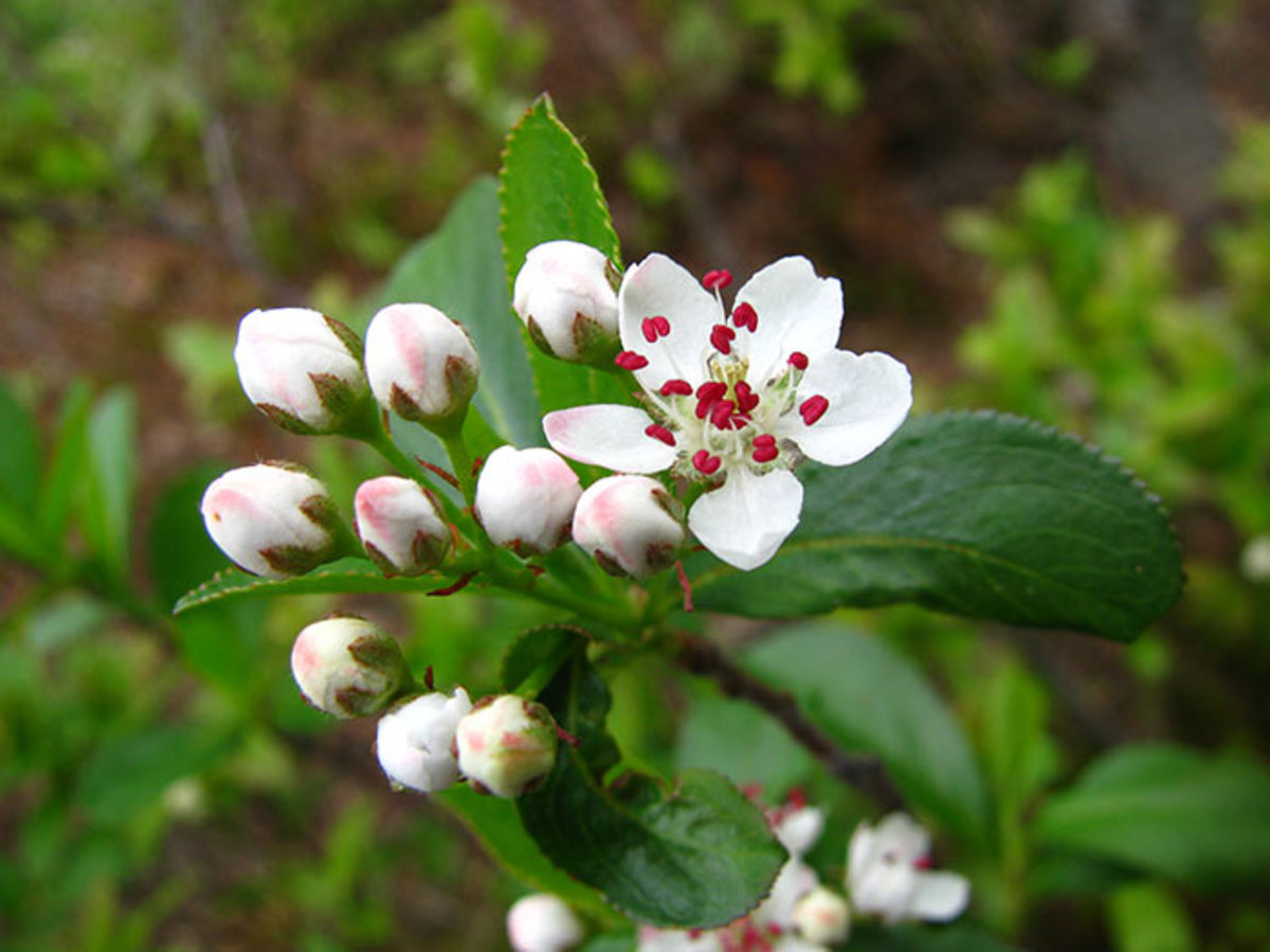 Black chokecherry blooms in the spring.