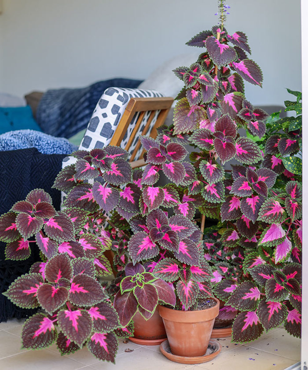 Soft-stemmed, fibrous-rooted tropical plants like coleus can be treated as houseplants for the winter. Taking stem cuttings and rooting them can keep the project to a reasonable footprint.