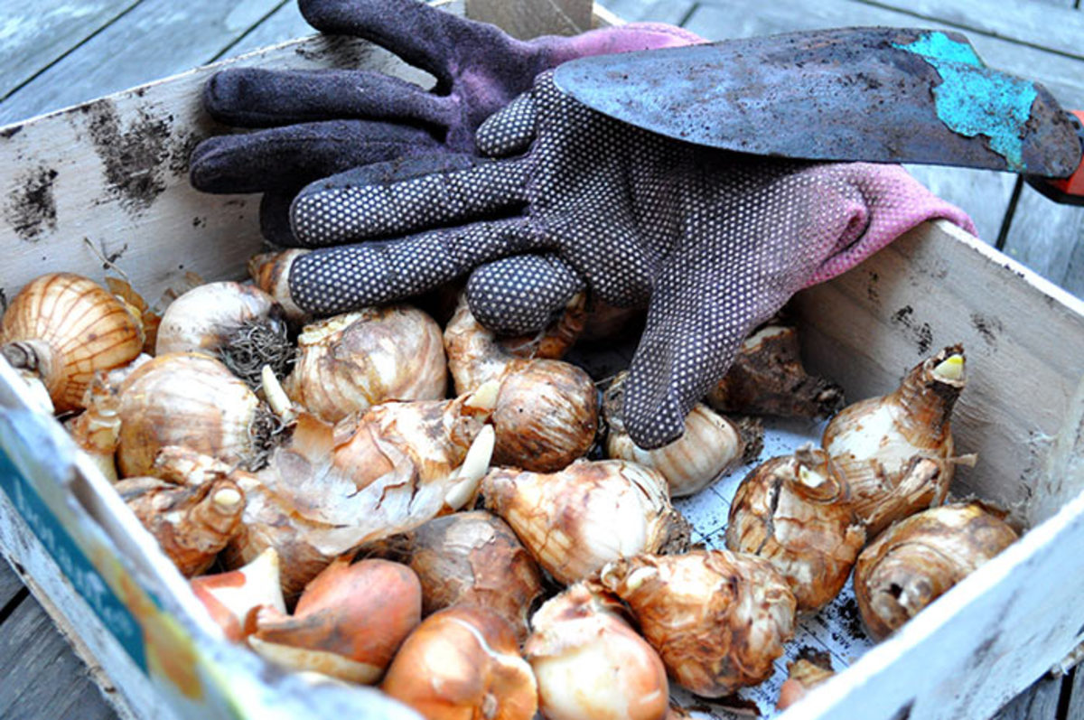 Bulbs ready to be planted.