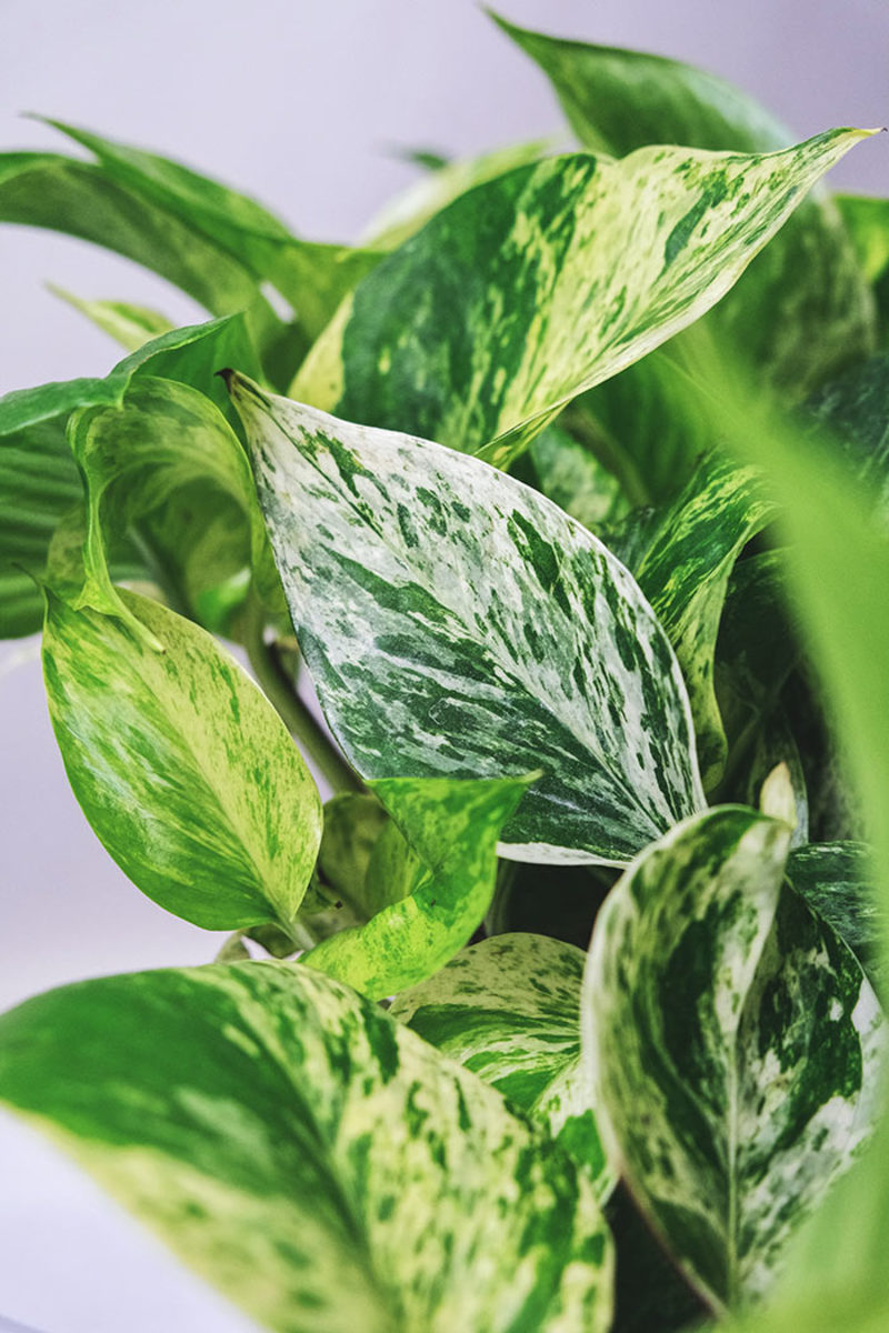 Pothos (shown here, the cultivar Marble Queen) has long been treasured as a vibrant and easy-care houseplant, but it performs well outdoors in summer gardens, too.