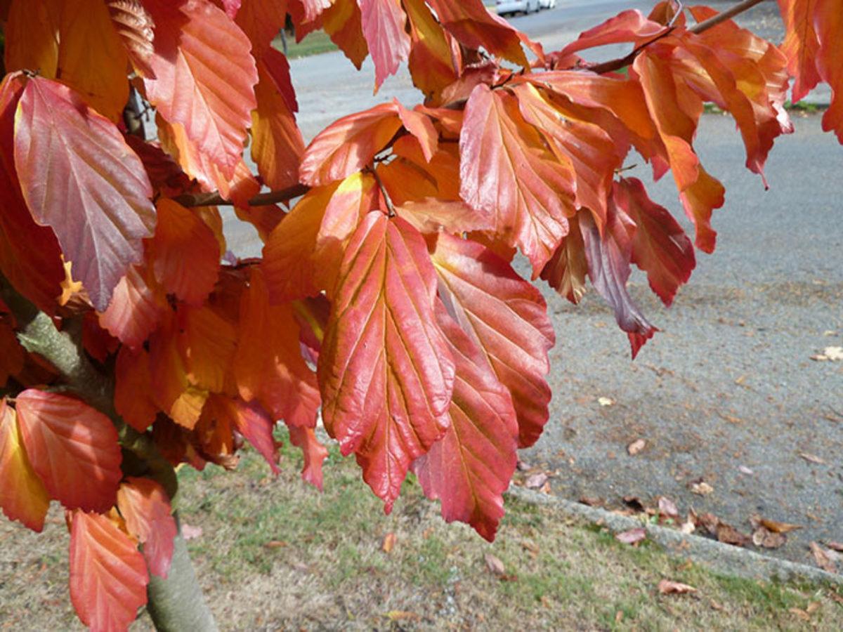 The fall foliage of Persian ironwood.