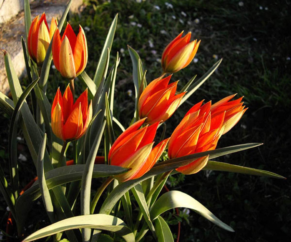 Whittall's tulip