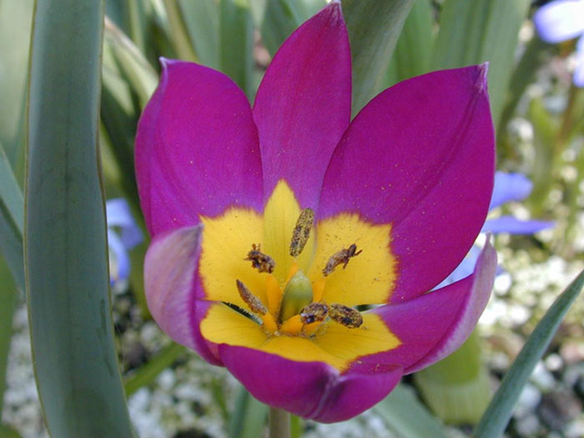 Crocus tulip