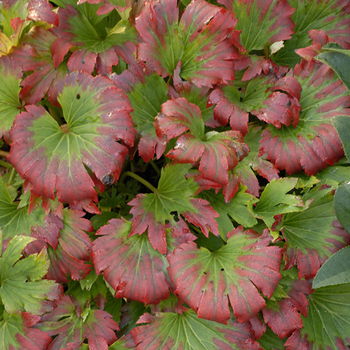 Red edges appear on the foliage beginning in summer. The color intensifies and spreads until the whole leaf shines crimson in the fall.